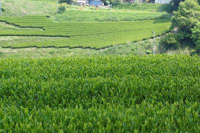 新芽の美しいお茶の木