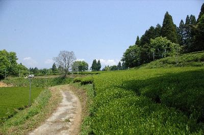 五ヶ瀬町桑の内のお茶畑